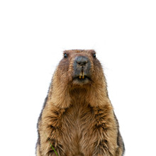 Groundhog Isolated On White Ba...