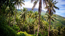 Palm Trees On The Mountain Side Of The Volcanic Island Of Camiguin