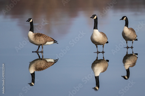 Canada Goose (Branta canadensis) group standing on frozen lake with water reflex Canvas Print