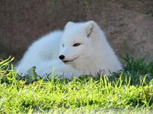 White Arctic Fox Resting In Th...
