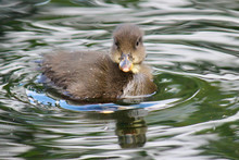 Cute Baby Duckling Swimming In...