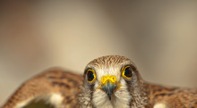Common Kestrel With Closed Bea...