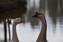 Two Geese In Profile