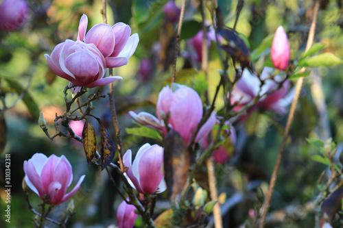 Fototapeta Pink white Magnolia flower on blurry magnolia flower background in garden,Close up Magnolia flower with branch and leaf on blurry background obraz na płótnie