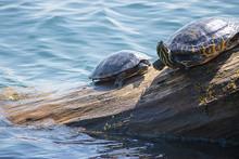 Pile Of Striped Turtles Laying...