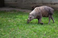 Babirusa Deer Pig Babyrousa Grey