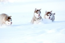 Red Siberian Husky Puppy In Snow