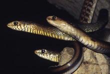 A Cobra (Naja Naja), Two Dhama...