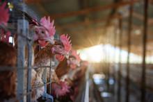 Hens Egg Farm