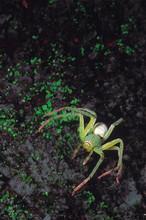 Green Lynx Spider. Rajmachi Fo...