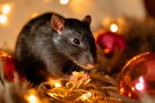 Black Rat With A Beautiful Pin...