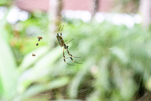 Golden Orb Spider In Its Web I...