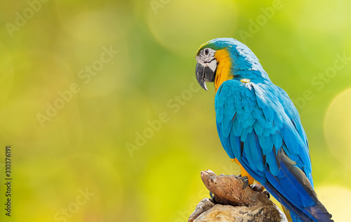 Close up Blue and Gold Macaw Perched on Branch Isolated on Background with Copy Canvas Print