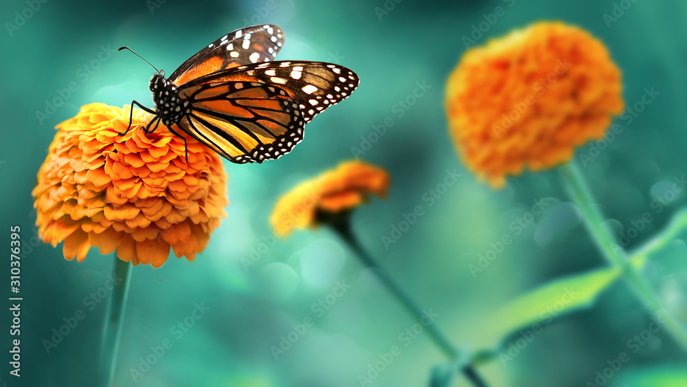 Fototapeta Monarch orange butterfly and  bright summer flowers on a background of blue foliage in a fairy garden. Macro artistic image.