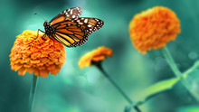 Monarch Orange Butterfly And  ...