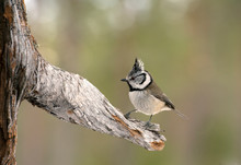 European Crested Tit On Branch