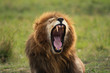 Male lion sitting in Masai Mara