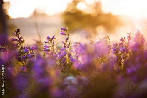 Backlit wildflowers - 310386558