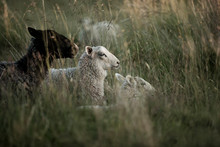Three Sheep Lying In Meadow