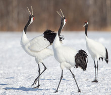Red Crown Cranes On Snow