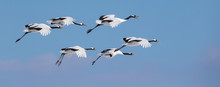 Tundra Swans Flying