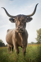 Cow Standing In Meadow