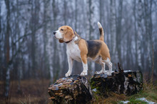 Funny Dog Breed Beagle For A W...