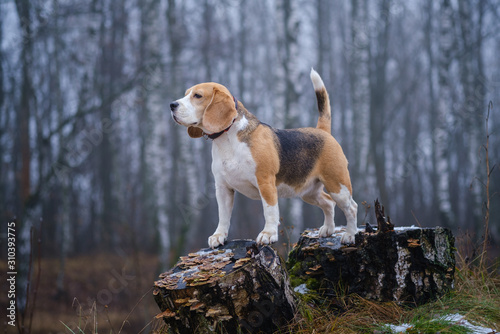 funny dog breed Beagle for a walk in the winter Park in a thick fog Canvas Print