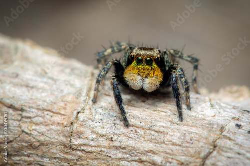 Photo Image of jumping spiders (Salticidae) on a natural background