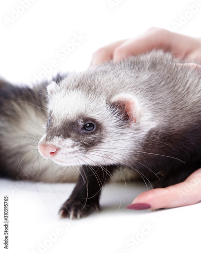 Vászonkép  Polecat isolated on white background