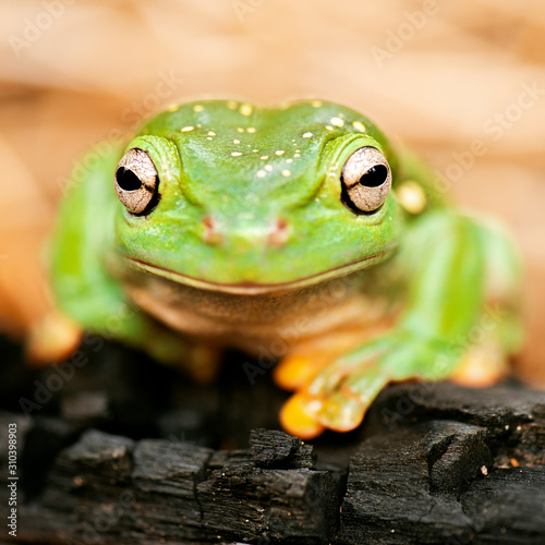 Photo Detailed closeup of a Magnificent Tree Frog
