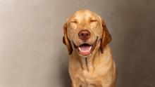 Portrait Of Happy Labrador Ret...