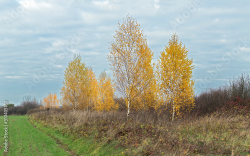 Typical golden autumn in an agricultural landscape with birch trees Wallpaper Mural