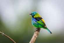 Colorful Green-headed Tanager ...