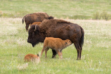 Buffalo Nursing Her Calf In A Field