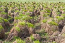 Marsh Meadow Grass. Swamp Humm...