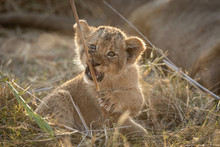 Small Lion Cub Chewing A Stick...