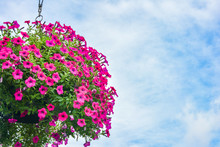 Hanging Flowers Pot Containing On The Roof,Pink  Petunias,Beautiful Pink Flowers In Hanging Pot Against Background Of River,Petunia Flowers In Hanging Flower Pot.