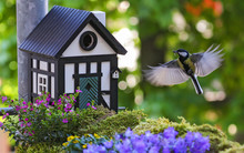 Great Tit (Parus Major) Flying At Bird House With Insect In Bill, Heidelberg, Baden-Wuerttemberg, Germany