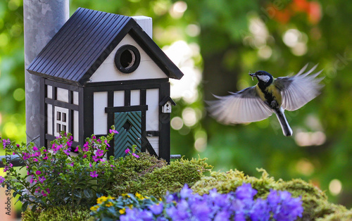 Great Tit (Parus major) flying at bird house with insect in bill, Heidelberg, Ba Wallpaper Mural