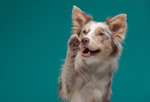 Dog On A Blue Background. Happy Pet In The Studio. Border Collie