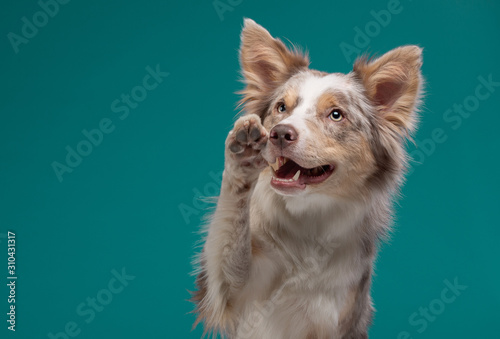 dog on a blue background. Happy pet in the studio. Border Collie © annaav