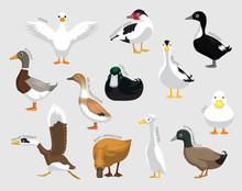 Domestic Duck Set Various Kind...