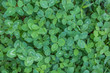 green leaf background of clover