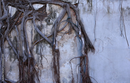 Powerful exposed tree roots invade and cause damage to the abandoned cement wall Canvas-taulu