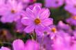 Leinwandbild Motiv Beautiful pink cosmos flower blooming in the garden.