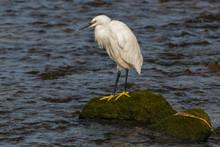 Little Egret On A Rock