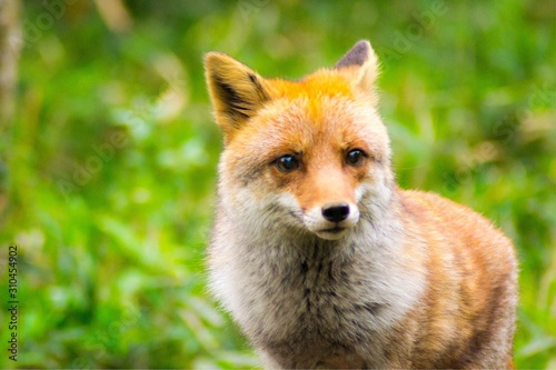 red fox vulpes Canvas Print