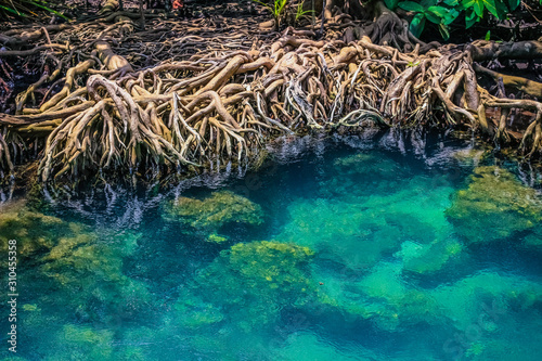 Fotografie, Obraz mangrove forest ecosystem with mangrove roots and clear green blue water at Tha