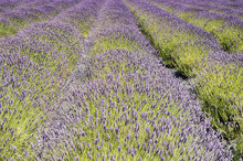 Rows Of Lavender Flowers At Harvest